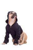 terrier американского staffordshire Стоковое Фото