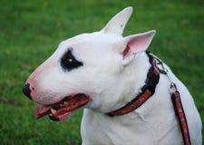 terrier английской языка быка Стоковое фото RF
