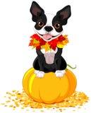Terrier Бостона Стоковое Изображение RF