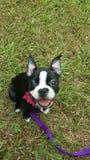 Terrier Бостона Стоковая Фотография RF