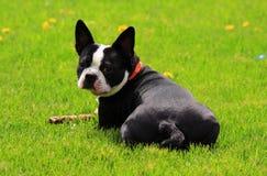 Terrier Бостон Стоковая Фотография