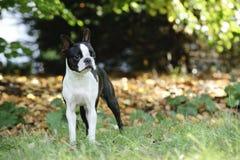 Terrier Бостон стоковое изображение