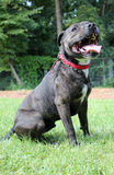Terrier быка Staffordshire Стоковые Фото