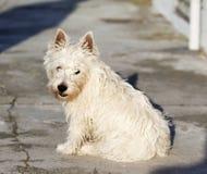 terrier гористых местностей западный Стоковые Фото