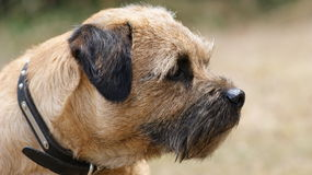 terrier граници стоковое фото