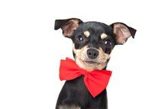 Terrier игрушки стоковое изображение rf