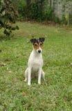 terrier лисицы Стоковые Фото