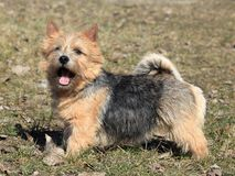 Terrier Нориджа стоковые фотографии rf