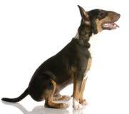 terrier щенка быка счастливый стоковое фото