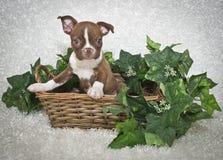 terrier щенка boston Стоковое Изображение