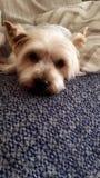 terrier Foto de Stock Royalty Free