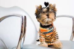A terrier Royalty Free Stock Photos