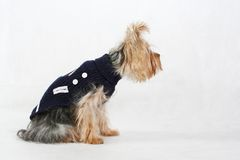 Terrier. Yorkshire terrier in black clothes sits Royalty Free Stock Photo