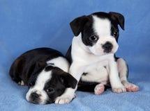 terrier 2 щенят boston Стоковое Изображение
