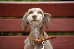 terrier Stock Photo