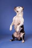 terrier 28 американский staffordshire Стоковая Фотография RF