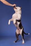 terrier 29 американский staffordshire Стоковые Фото