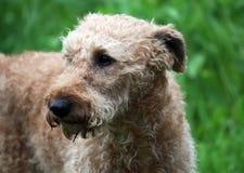 Terrier Royalty-vrije Stock Afbeelding