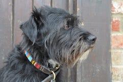 Terrier Imagen de archivo libre de regalías