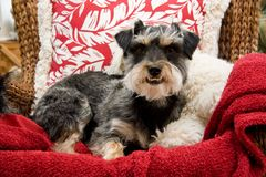Terrier. Dog Sitting Down in a Chair stock images