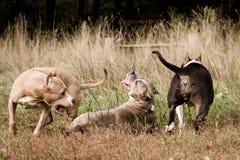 terrier 7 американский staffordshire Стоковая Фотография RF