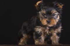 terrier Royaltyfri Fotografi