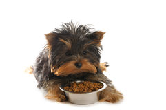 Terrier Royalty Free Stock Photography