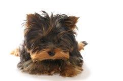 Terrier Foto de Stock