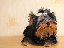 Terrier Imagens de Stock Royalty Free