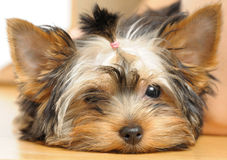 Terrier Royalty Free Stock Photos