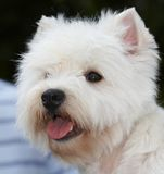 Terrier Stock Images