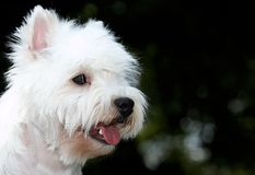 Terrier Stock Photography