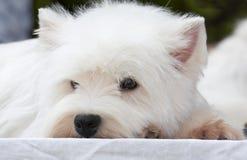 Terrier fotografia stock