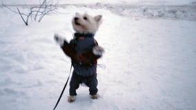 Terrier ad ovest dell'altopiano che salta sulla neve video d archivio
