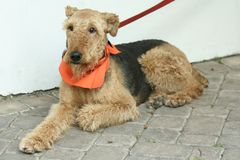 terrier airedale Стоковое фото RF