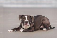 Terrier américain de pitbull Photo libre de droits