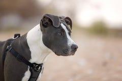 Terrier américain de pitbull Photographie stock libre de droits