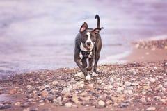 Terrier américain de pitbull Photographie stock