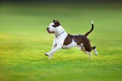 Terrier americano del pitbull imagen de archivo libre de regalías