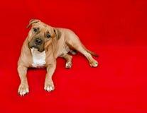 Terrier americano del pitbull fotografía de archivo