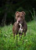 Terrier americano del pitbull fotografia stock libera da diritti