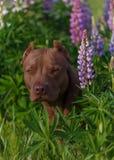 Terrier americano del pitbull Fotografie Stock Libere da Diritti