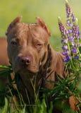 Terrier americano del pitbull imagenes de archivo