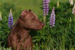 Terrier americano del pitbull fotografia stock