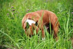Terrier americano di stafford Fotografie Stock