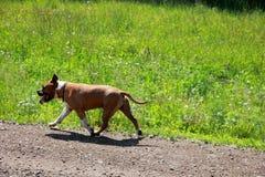 Terrier americano di stafford Fotografie Stock Libere da Diritti