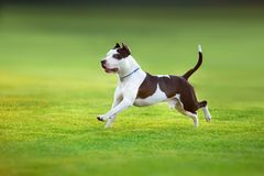 Terrier americano do pitbull imagem de stock royalty free