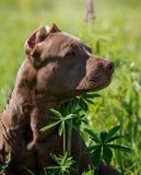 Terrier americano do pitbull Fotografia de Stock Royalty Free