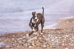 Terrier americano do pitbull Fotografia de Stock Royalty Free