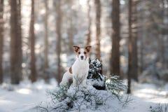 Terrier ativo e bonito de Russel do jaque da raça do cão fora Fotos de Stock